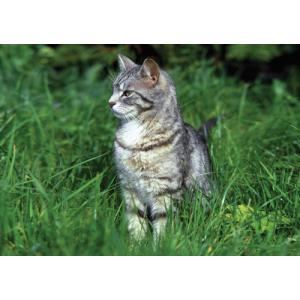 Grey Tabby Cat Pet Placemat