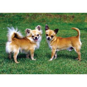 Chihuahua Dogs Pet Placemat