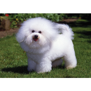 Bichon Frise Dogs Pet Placemat