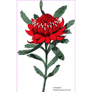 Australian Native Waratah 100% Cotton Kitchen Tea Towel