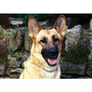 German Shepherd Dog Pet Placemat