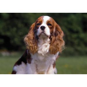 Cavalier Blenheim Dog Pet Placemat