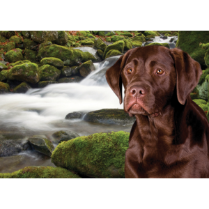 Brown Labrador Dog Pet Placemat